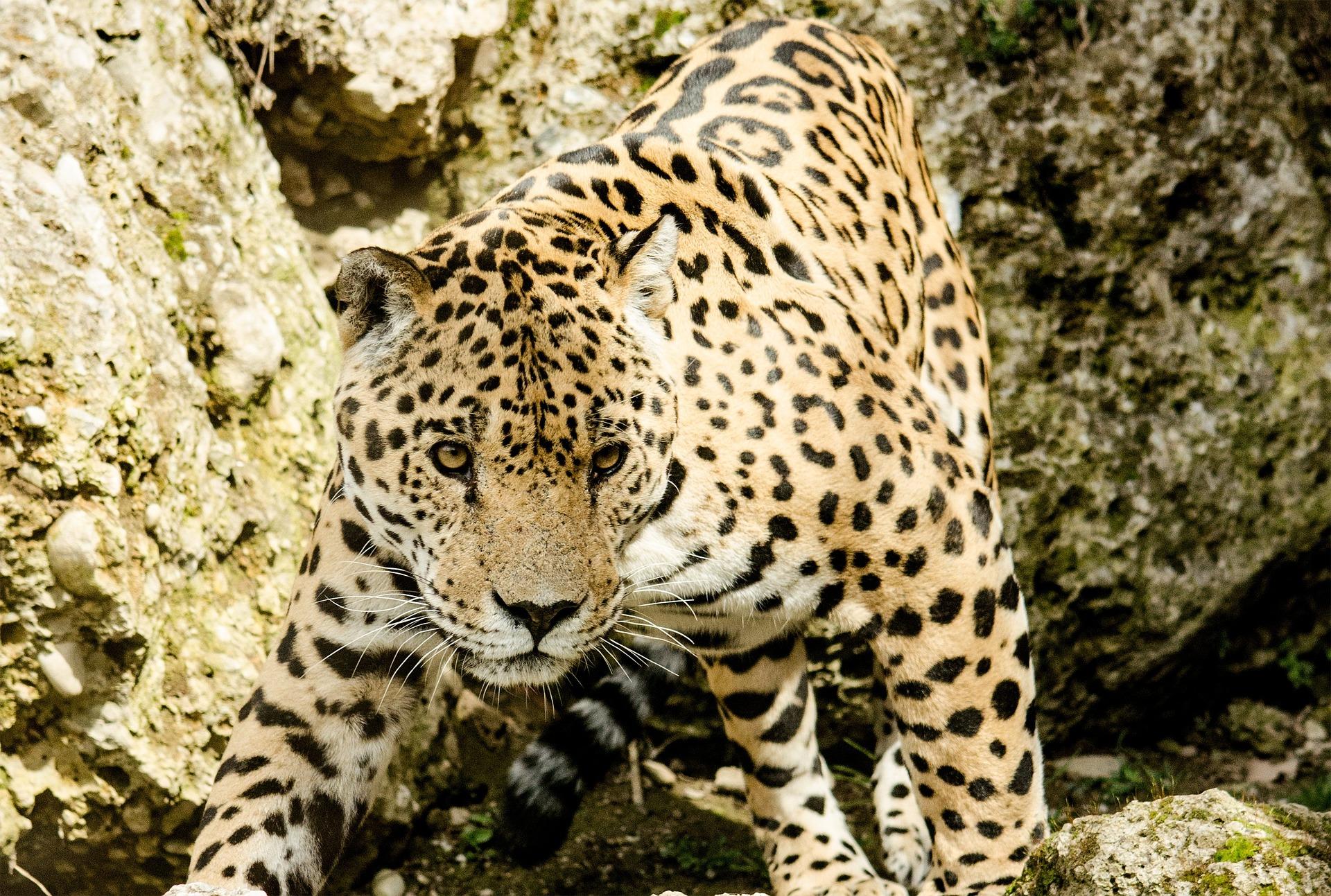 jaguar-1337201_1920